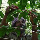 より出荷開始!東ティモール マウベシ 〈有機JAS認証取得〉 珈琲生豆